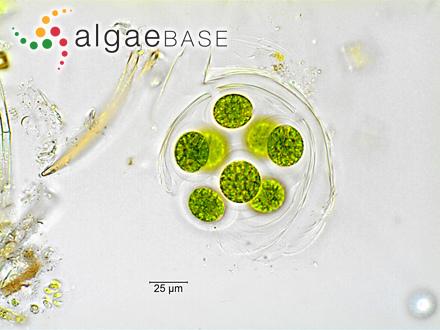 Sphaerococcus durus C.Agardh