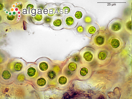 Asperococcus prolifer J.Agardh