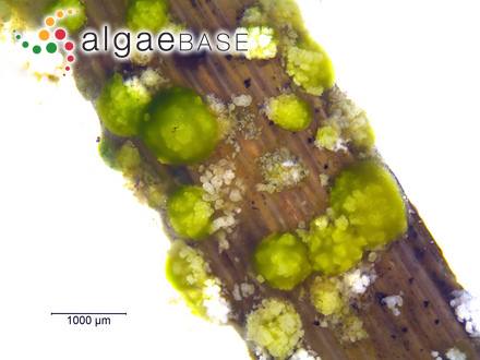 Macrocystis latifolia Bory