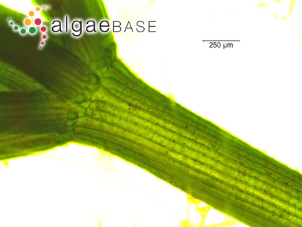 Gracilaria prolifera Reinsch