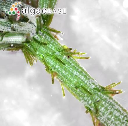 Plocamium brachiocarpum Kützing