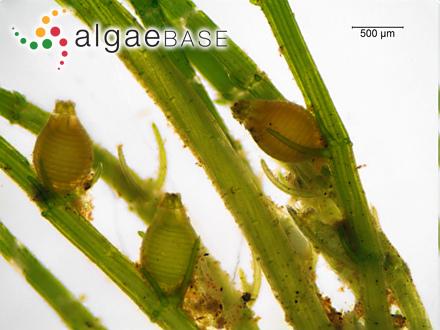 Gracilaria nigrescens (C.Agardh) J.D.Hooker & Harvey