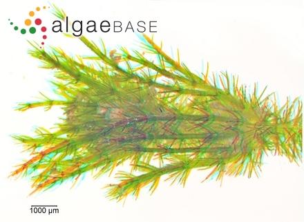 Caloglossa saigonensis Tanaka & Pham-Hoàng Hô