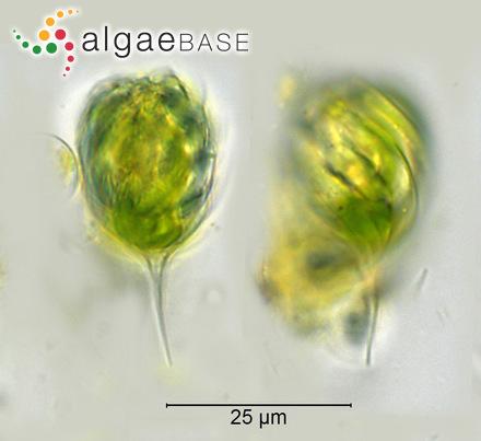 Lithophyllum decipiens f. subantarcticum Foslie