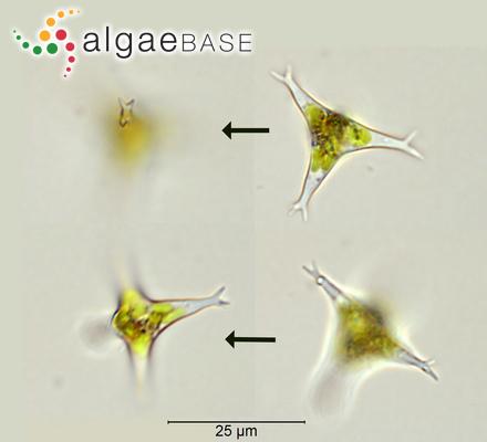 Lithothamnion lichenoides f. antarcticum (Hooker f. & Harvey) Foslie