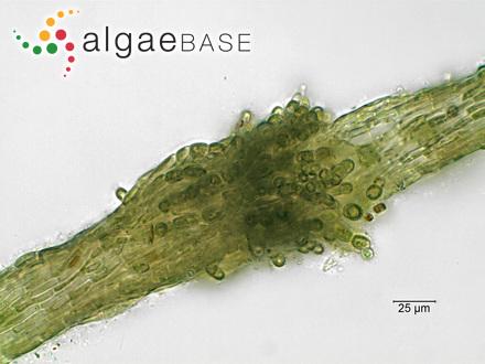 Iridaea dentata var. minor Kützing