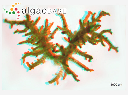 Dictyopteris iyengarii P.Anand