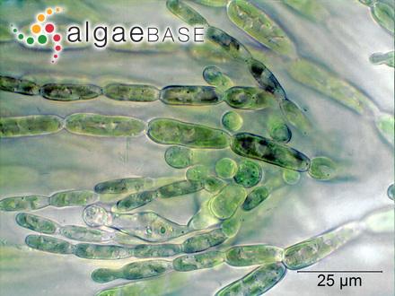 Neurocarpus ligulatus (Suhr) Kuntze