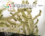 Batrachospermum gelatinosum (Linnaeus) De Candolle