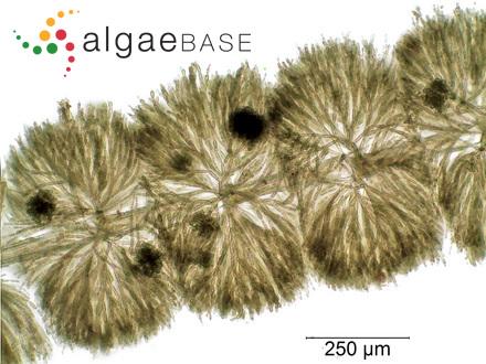Dictyota acutiloba J.Agardh