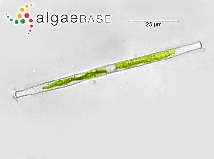 Zonaria dichotoma (Hudson) C.Agardh