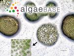 Microcystis flosaquae (Wittrock) Kirchner