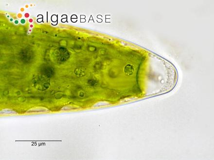 Sargassum compactum Bory