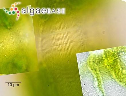 Sargassum microcystum J.Agardh