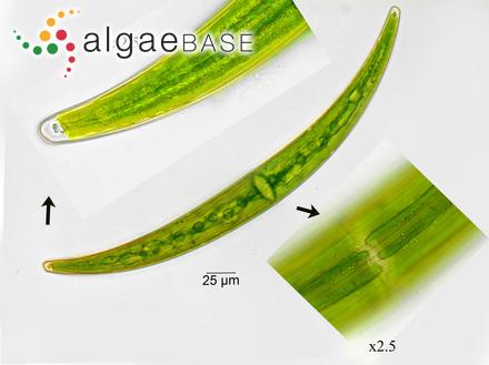 Sargassum microcystum var. microtis Grunow