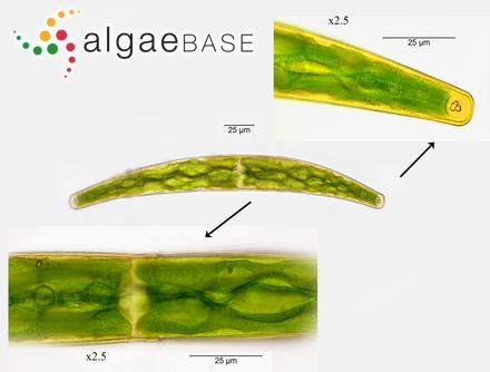 Sargassum microcystum var. euryphyllum (Grunow) Grunow
