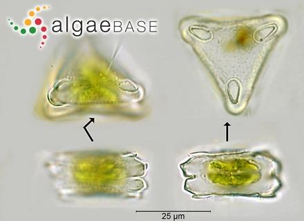 Oerstedtia scalaris (Suhr) Jensen