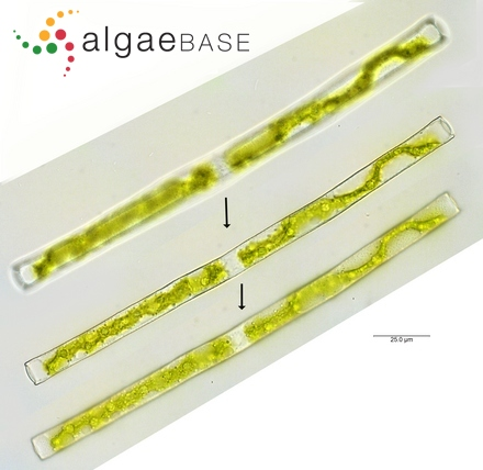 Gonatzygon monotaenium Brecon-5