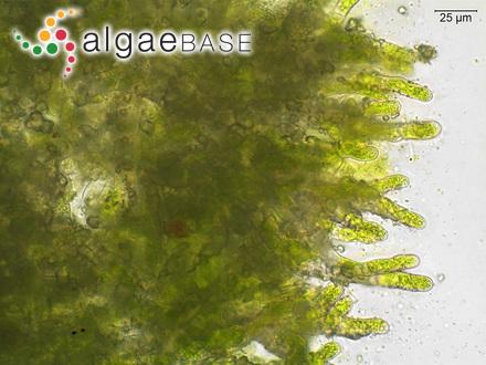 Sargassum aquifolium f. kuetzingianum Grunow