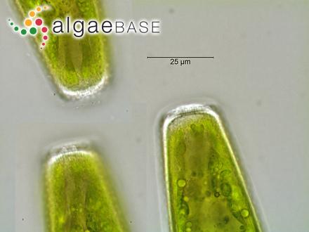 Sargassum boveanum var. somalense De Toni