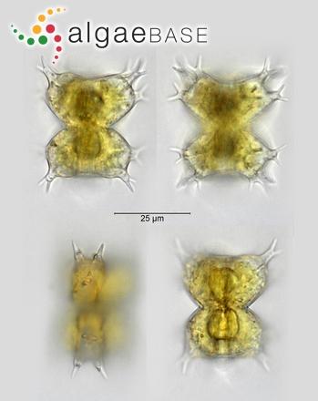 Staurastrum furcatum Brébisson