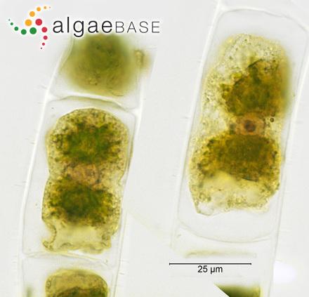 Sargassum duplicatum f. dubium Grunow