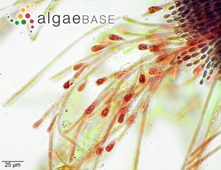 Cladophora virgata Kützing