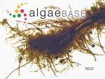 Bangia atropurpurea (Mertens ex Roth) C.Agardh