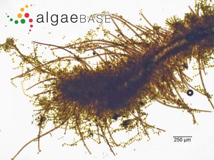 Cladophora oxyclada (Montagne) Kützing