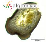 Sacheria fluviatilis (Linnaeus) Sirodot
