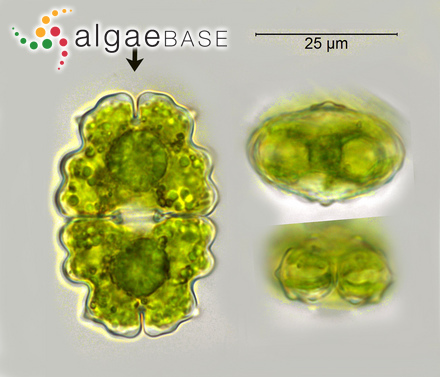 Melobesia hapalidioides P.Crouan & H.Crouan