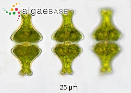 Caulerpa serrulata var. pectinata (Weber Bosse) W.R.Taylor