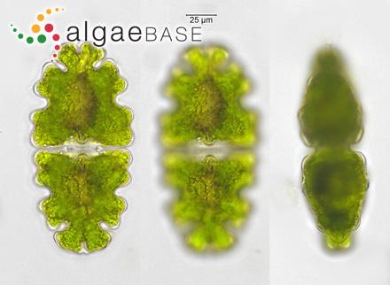 Caulerpa serrulata f. spiralis (Weber Bosse) Gilbert