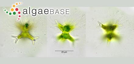 Sargassum incanum Grunow