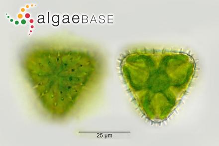 Fucus longifolius var. angustifolius Turner