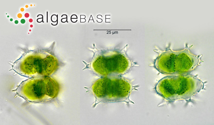 Cladophora anisogona (Montagne) Kützing