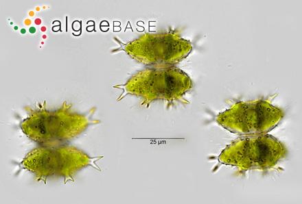 Cladophora aucklandica Rabenhorst