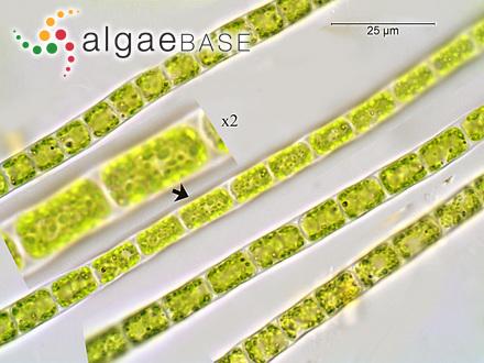 Callonema olivaceum Reinsch