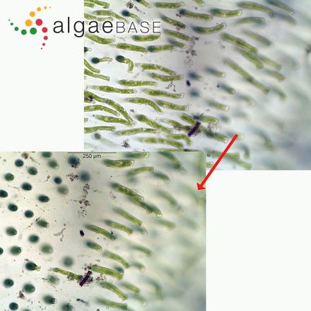 Acrochaetium fuegiense Kylin