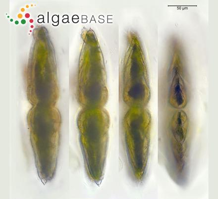 Sargassum turneri (Kützing) Kuntze