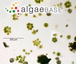 Coelastrum microporum Nägeli