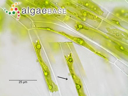 Caulerpa peltata f. imbricata (G.Murray) Weber Bosse