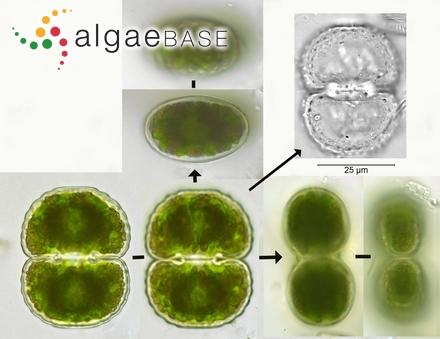 Caloglossa leprieurii var. angusta C.-C.Jao