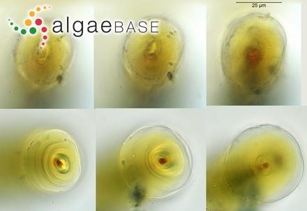 Amansia obtusiloba (C.Agardh) J.Agardh