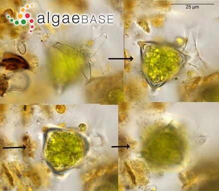 Laurencia pedicularioides var. queenslandica A.B.Cribb