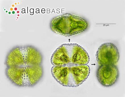 Sphacelaria radicans f. aegagropila Hylmö