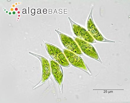 Desmarestia aculeata var. plumosa (Suhr) Oersted