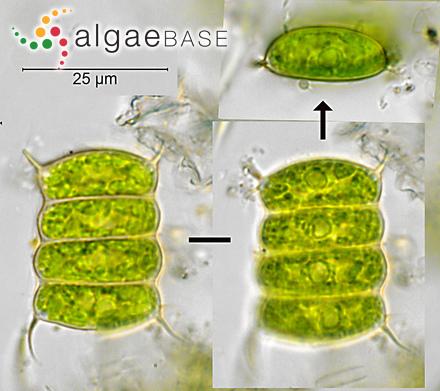 Microdictyon obscurum J.Agardh
