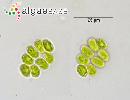 Caulerpa cactoides var. gracilis G.Murray