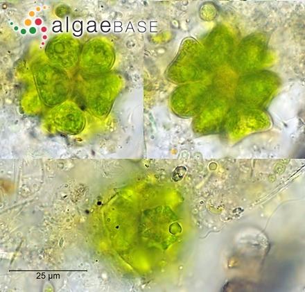 Caulerpa cupressoides f. gardineri Weber Bosse